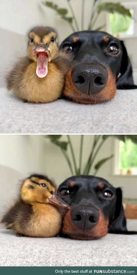 Duck and Dog friends posing for a couple of pictures