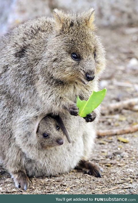 Quokka with baby in pouch