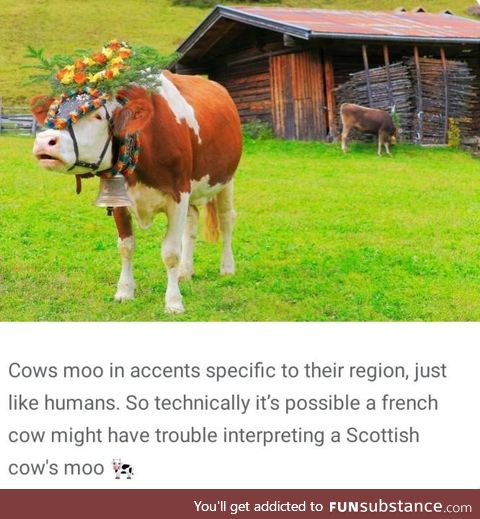 Cows have accents, it seems