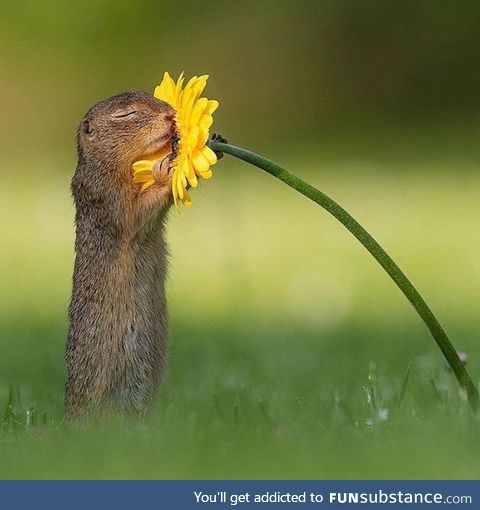 Squirrel smelling a flower
