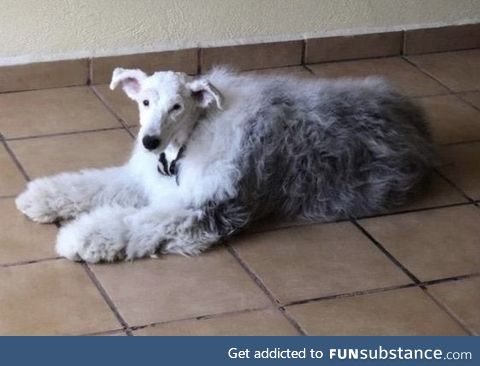 This is what a sheepdog with its head shaved looks like