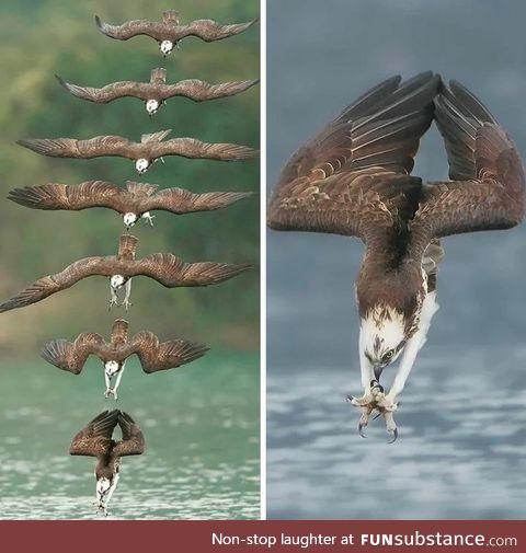 Eagle Diving