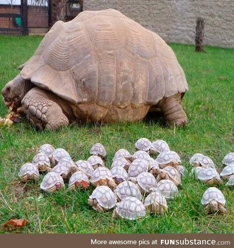 Old turtle with her babies