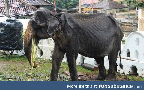 Sri Lanka is being boycotted for marching emaciated elephants for their religious parades