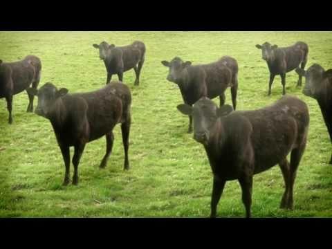 Zero Context #15 - Cows