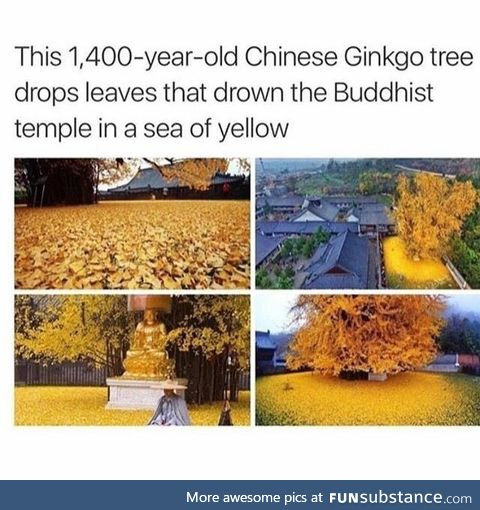 Chinese Ginkgo Tree