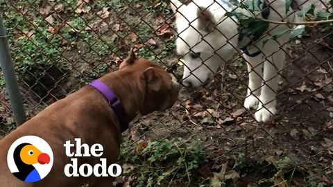 """Pit bull not allowed around other dogs meets a husky who teaches him how to """"woo"""""""