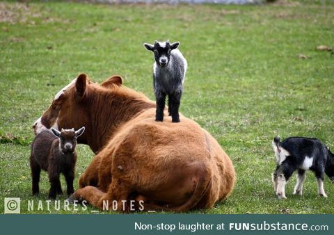 Goats have zero respect for cows