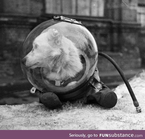 Meet Belka, one of two K9 Cosmonauts returned to earth, USSR, circa 1961
