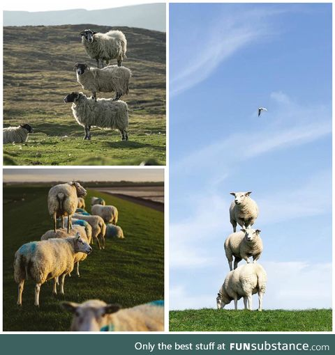 Scottish sheep stacking