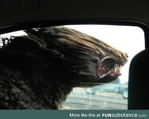 A goldendoodle sticks his head out a car window