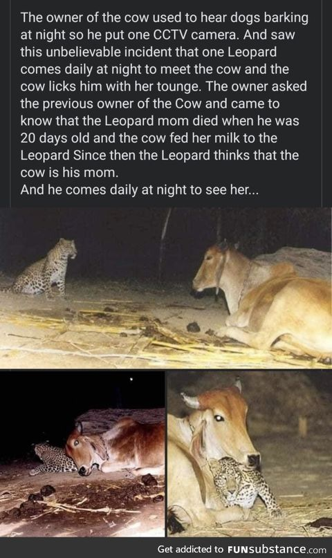 Cows are good souls