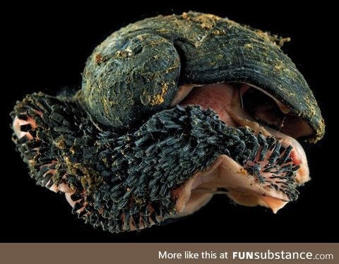 Volcano Snails Have Shells Made Of Iron And Live In Hydrothermal Vents. #metal