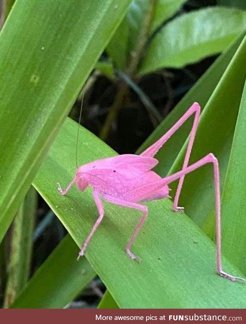The mythical pink katydid