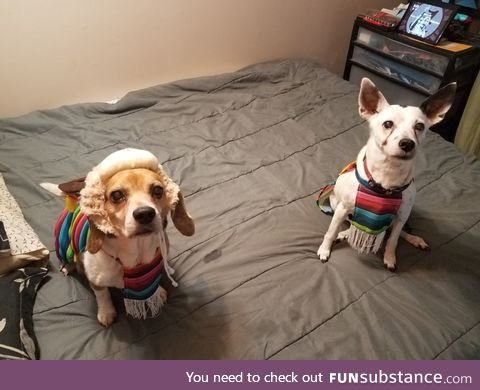Peruvian Puppies