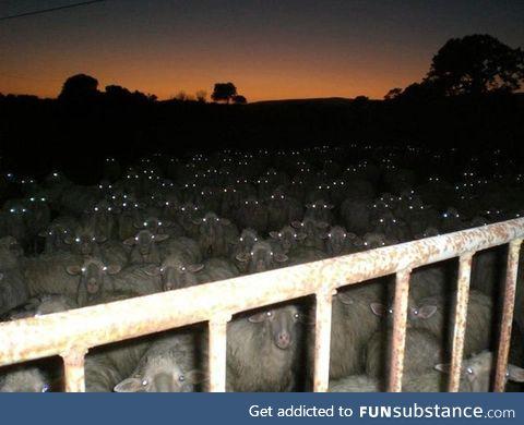 Camera flash made the sheep look like Zombies