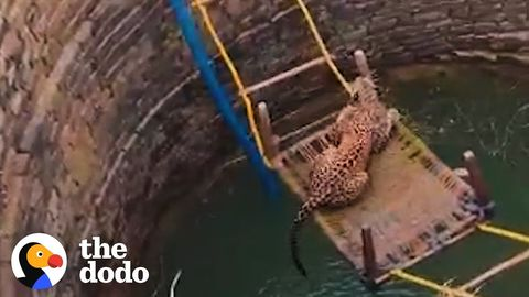 Rescuing a leopard that fell in a well