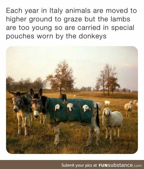Donkeys with Lambs in their pockets